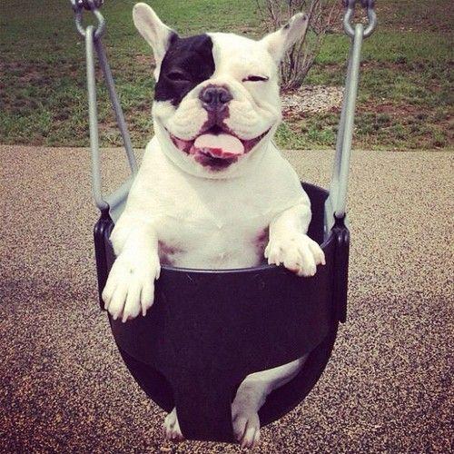 french bulldog swinging