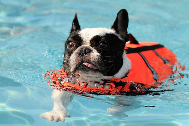 swimming french bulldog pics