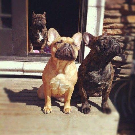 french bulldog summer