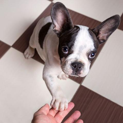 french bulldog constipated
