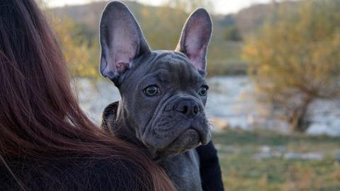 french bulldogs and mosquito bites